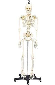 Anatomical Chart Company 4th Quality Budget Bart Skeleton