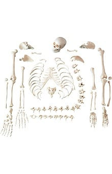 Anatomical Chart Company Skeleton Disarticulated