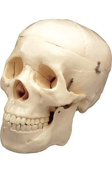 Anatomical Chart Company Skull with 3 Removable Teeth