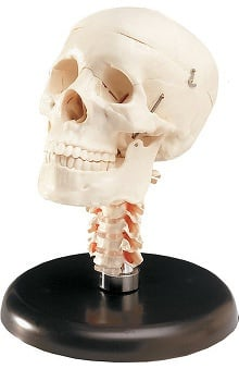 Anatomical Chart Company Budget Skull with Cervical Vertebrae