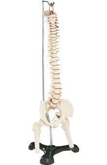 Anatomical Chart Company Flexible Desk-Size Vertebral Column Anatomical Model