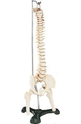 Anatomical Chart Company Flexible Desk-Size Vertebral Column Anatomical Model