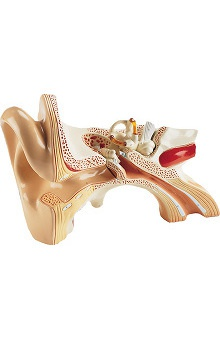 Anatomical Chart Company Giant Three Part Ear Model