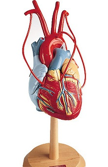 Anatomical Chart Company Heart Of America with Bypass