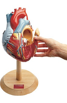 Anatomical Chart Company Heart Of America Model