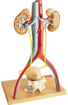 Anatomical Chart Company Deluxe Male Urinary System