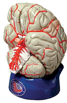 Anatomical Chart Company Deluxe 8 Part Brain with Arteries