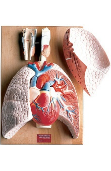 Anatomical Chart Company Heart And Respiratory Organs