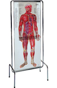 Anatomical Chart Company Thin Man Anatomy Program