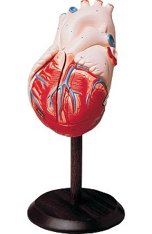 Anatomical Chart Company Giant Handson Heart