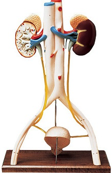 Anatomical Chart Company Handson Urinary System