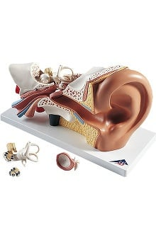 Anatomical Chart Company Human Ear