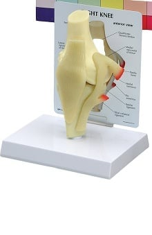 Anatomical Chart Company Basic Knee