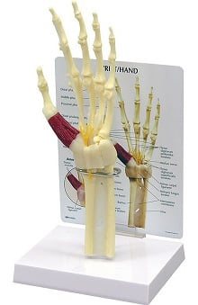Anatomical Chart Company Hand And Wrist Model