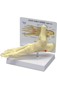 Anatomical Chart Company Foot And Ankle Model