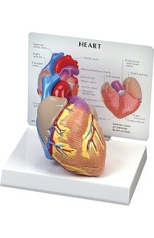 Anatomical Chart Company 2 Piece Heart Model