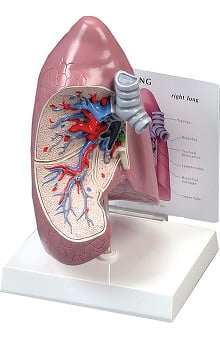 Anatomical Chart Company Lung Model