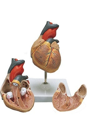 Anatomical Chart Company Classic Heart Anatomical Model