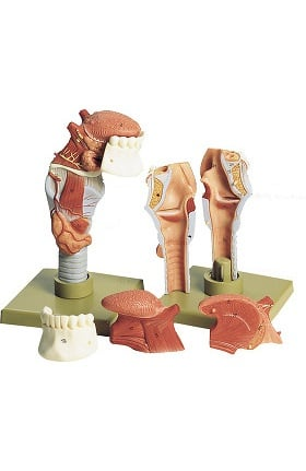 Anatomical Chart Company Human Larynx with Tongue Model