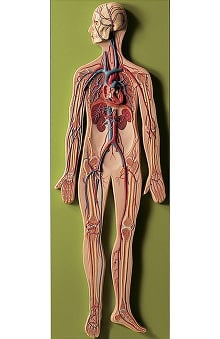 Anatomical Chart Company Circulatory System Model