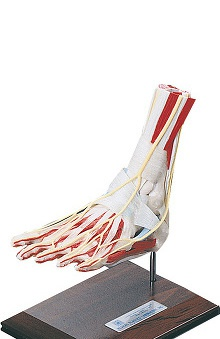 Anatomical Chart Company Deluxe Foot/Ankle Model