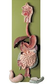 Anatomical Chart Company Human Digestive Tract Model