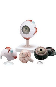 Anatomical Chart Company Human Eyeball Model