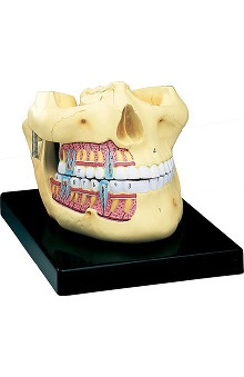 Anatomical Chart Company Upper And Lower Jaw Model