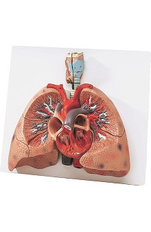 Anatomical Chart Company Lungs with Heart