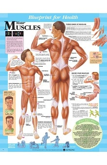 Anatomical Chart Company Blueprint for Health Your Muscles Chart