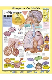 Anatomical Chart Company Your Respiratory System
