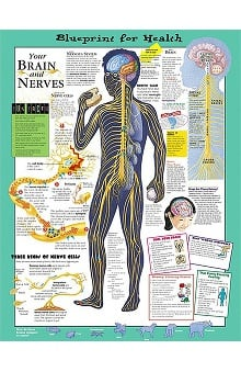 Anatomical Chart Company Your Brain And Nerves