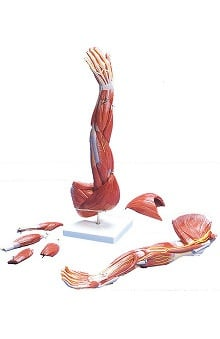 Anatomical Chart Company Muscles Of The Arm Model (Left)