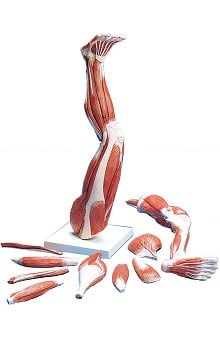 Anatomical Chart Company Muscles Of The Left Leg