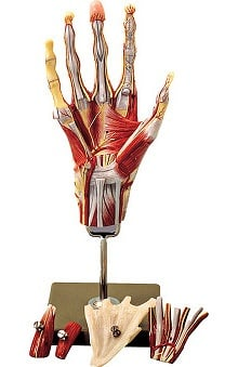 Anatomical Chart Company Muscles Of The Hand Model