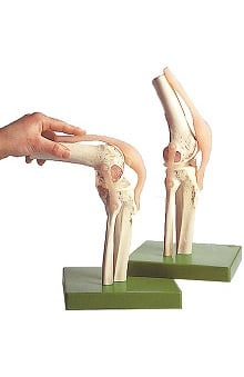 Anatomical Chart Company Functional Model Of Knee Joint