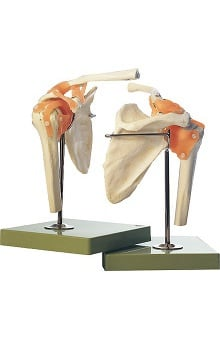 Anatomical Chart Company Functional Model Of Shoulder Joint