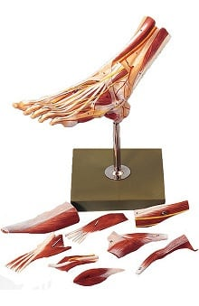 Anatomical Chart Company Muscles Of Foot Model