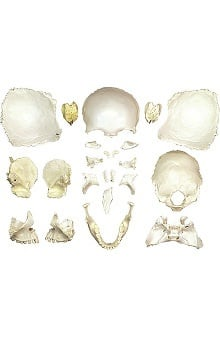 Anatomical Chart Company Disarticulated Female Skull