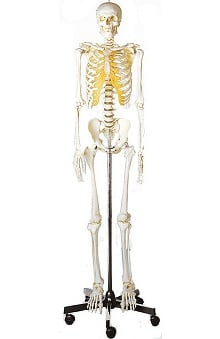 Anatomical Chart Company Plastic Human Male Skeleton