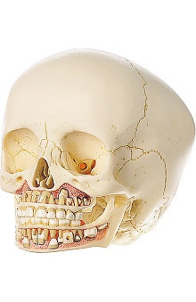 Anatomical Chart Company 6 Year Old Child Skull