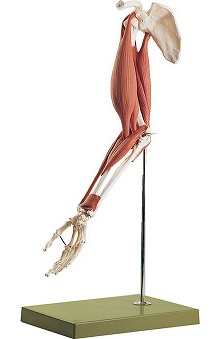 Anatomical Chart Company Skeletal Muscular Model of the Arm