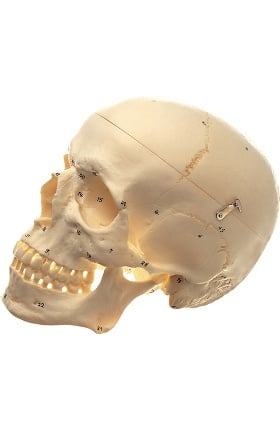 Anatomical Chart Company Human Skull with Numbers Anatomical Model