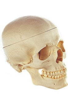 Anatomical Chart Company Artificial Adult Human Skull