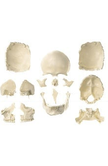 Anatomical Chart Company Disarticulated Skull