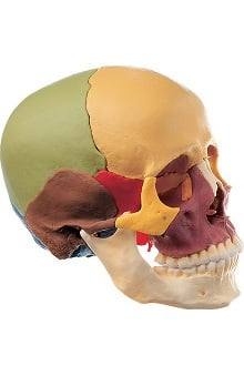 Anatomical Chart Company Color Coded Disarticulated Skull