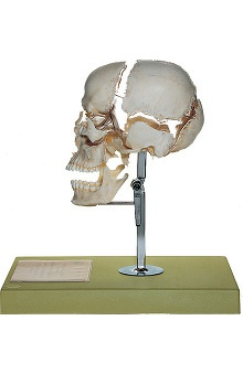 Anatomical Chart Company Beauchene Adult Skull