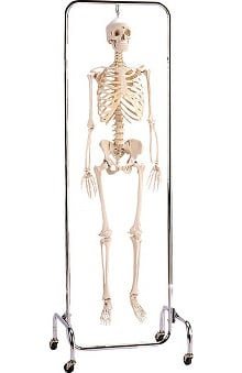 Anatomical Chart Company Deluxe Skeleton Reproduction