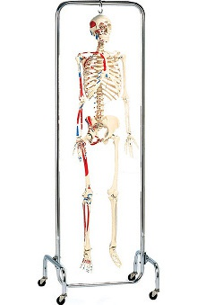 Anatomical Chart Company Deluxe Half Painted Skeleton Reproduction