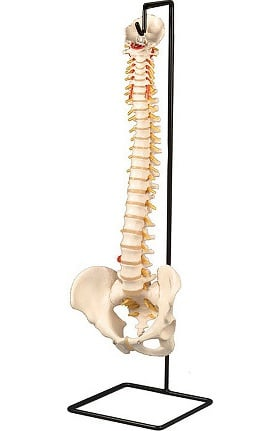 Anatomical Chart Company Stand For Male Vertebral